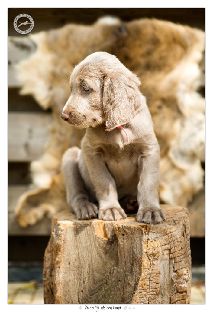 weimaraner langhaar pups mogi hondenfotografie