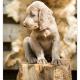 Weimaraner Langhaar pup - Mogi Hondenfotografie