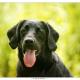 Max, kruising Duitse Staande Labrador door Mogi Hondenfotografie
