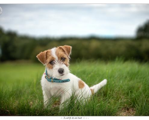 Hunter, Jack Russel door Mogi Hondenfotografie