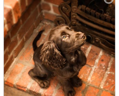 Giggle, working Cocker Spaniel door Mogi Hondenfotografie