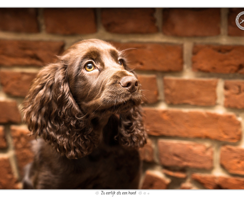Giggle, working Cocker Spaniel door Mogi Hondenfotografie