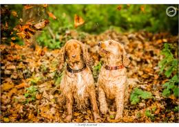 Cocker Spaniels door Mogi Hondenfotografie