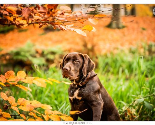 Bruine Labrador Beer door Mogi Hondenfotografie