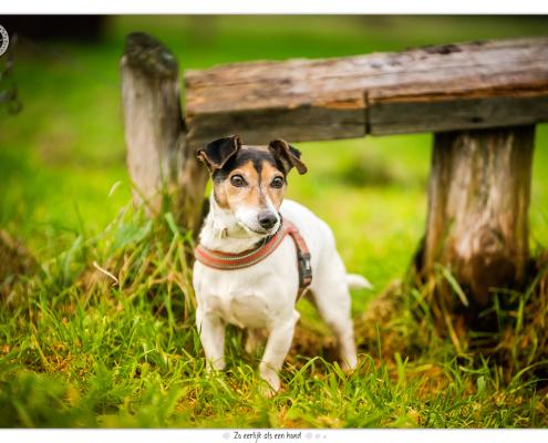 Jack Russel Terriers door Mogi Hondenfotografie