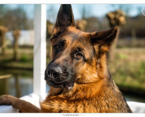 Duitse herder Mike, Mogi Hondenfotografie