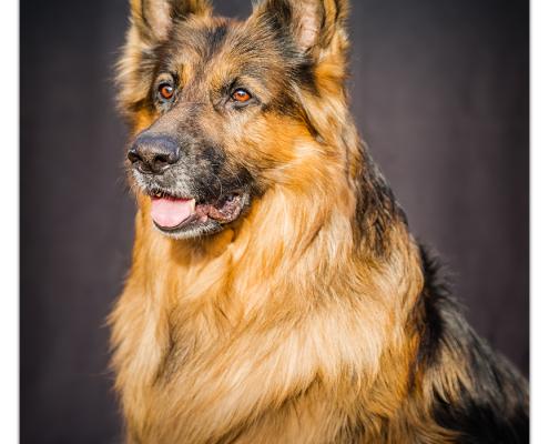 Duitse herder Rocky, Mogi Hondenfotografie