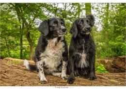 Joni en Sam, Border Collie kruisingen door Mogi Hondenfotografie