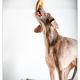 Lóis, Slowaakse Staande Hond voor snObbs door Mogi Hondenfotografie