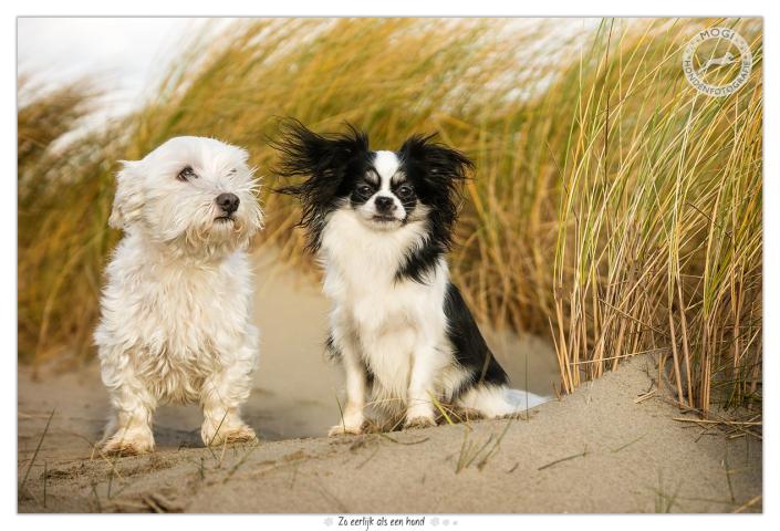 Dorus en Doortje, Maltezer Leeuwtje en Chihuahua