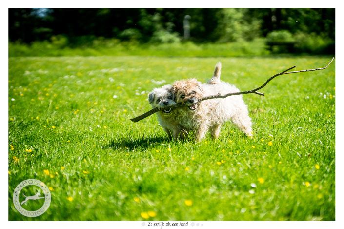 Oska en Bo, Border Terriers