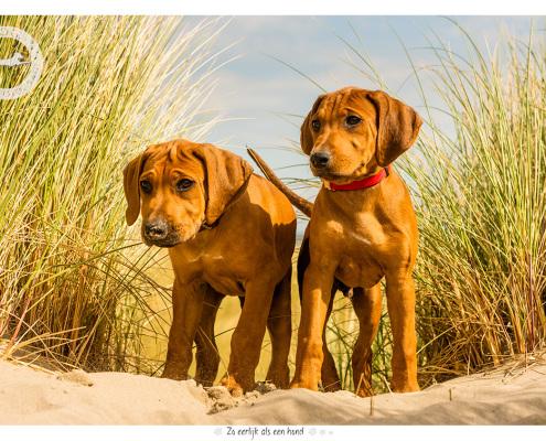 Mapogo en Mahkulu, Rhodesian Ridgeback pups