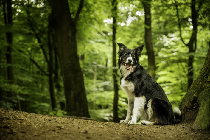 Mungo, Border Collie