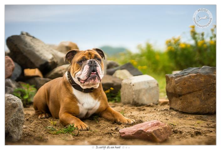 Moos, Engelse Bulldog