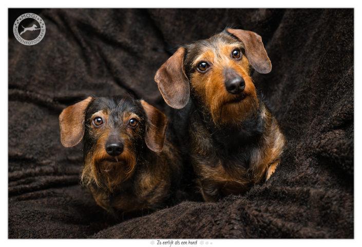 Limo & Sienna, ruwharige dwergteckels