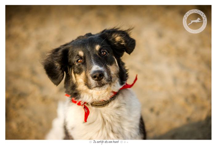 Sophie, Border Collie