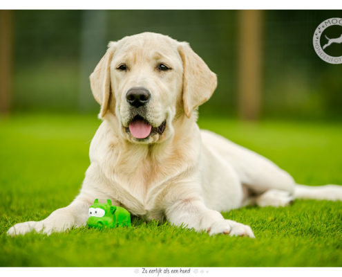 Golden Retriever pup Britt door Mogi Hondenfotografie