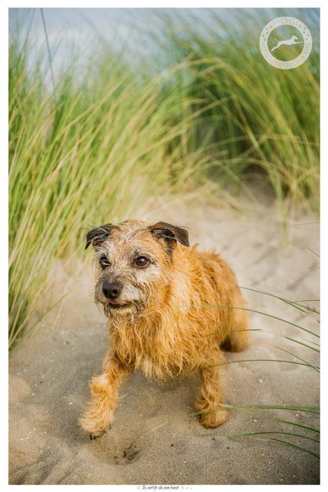 Benjie, Border Terrier