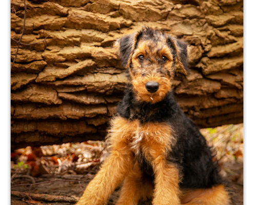 Rua, Airedale Terrier pup
