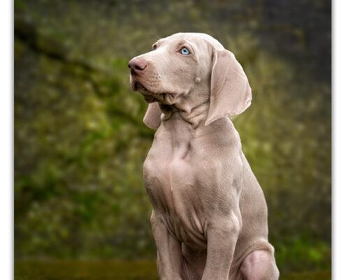 Weimaraner puppy door Mogi Hondenfotografie