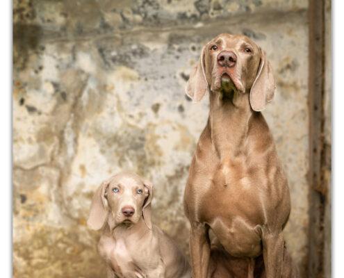 Weimaraners door Mogi Hondenfotografie