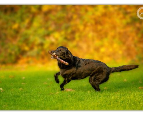 Loki - kruising Labradror Golden Retriever door Mogi Hondenfotografie