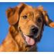 Mogi Hondenfotografie, hondenfotograaf, Golden Retriever, Caitlyn