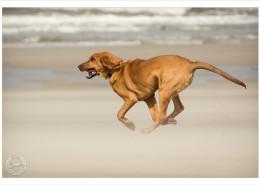 Mogi Hondenfotografie, hondenfotograaf, Bloedhond, Belle
