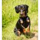 Mogi Hondenfotografie, hondenfotograaf, teckel, kortharige teckel