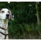 Mogi Hondenfotografie, hondenfotograaf, Bluetick Coonhound
