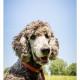 Mogi Hondenfotografie, hondenfotograaf, Grote Poedel