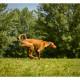 Mogi Hondenfotografie, hondenfotograaf, Podenco