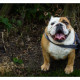Mogi Hondenfotografie, hondenfotograaf, Engelse Bulldog