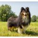 Mogi Hondenfotografie, hondenfotograaf, Sheltie