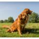 Mogi Hondenfotografie, hondenfotograaf, Toller, Nova Scotia Duck Tolling Retriever