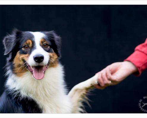Mogi Hondenfotografie, hondenfotograaf, Australian Shepherd, Australische Herder, Bon-Key
