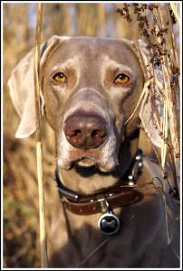 Mogi Hondenfotografie, hondenfotograaf, Kandor, Weimaraner, hondenfotografie