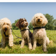 Mogi Hondenfotografie, hondenfotograaf, Labradoodle, Labradoodles