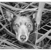 Mogi Hondenfotografie, hondenfotograaf, Kelpie, Australian Kelpie