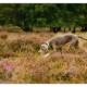 Mogi Hondenfotografie, Nica, Slowaakse Ruwharige Staande Hond, Slovakian Rough Haired Pointer