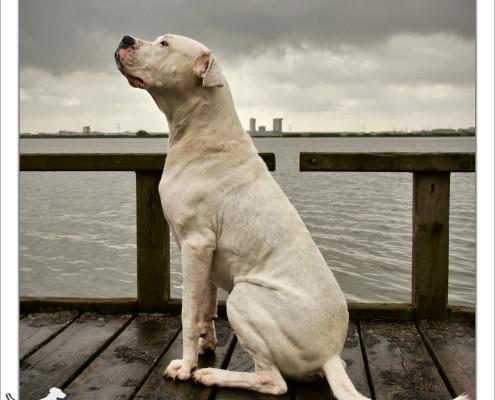 Mogi Hondenfotografie, hondenfotograaf, Argentijnse Dog, Caro