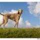 Mogi Hondenfotografie, hondenfotograaf, Weimaraner