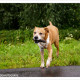 Mogi Hondenfotografie, Luna, Amerikaanse Stafford, Stafford