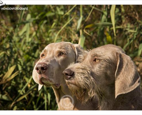 Mogi Hondenfotografie, hondenfotograaf, Weimaraner, Slowaakse Ruwharige Staande Hond, SRSH