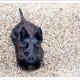 Mogi Hondenfotografie, hondenfotograaf, Schotse Terriër