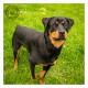 Mogi Hondenfotografie, Rescue Photo, Rottweiler Rescue Nederland, Noa