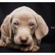 Mogi Hondenfotografie, hondenfotograaf, weimaraner pup