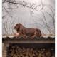 Duitse Staande Langharige Hond, DSLH, DSL, Duitse Staande, Duitse Staande Langhaar, Mogi Hondenfotografie, hondenfotograaf
