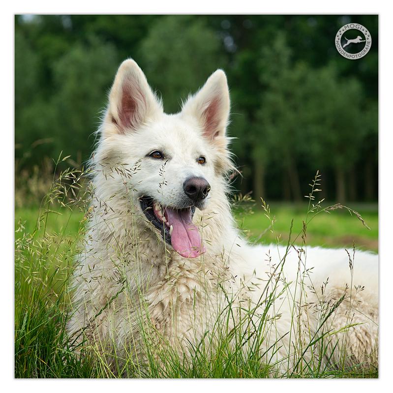 Fay, de Zwitserse Herder, gefotografeerd door Mogi Hondenfotografie
