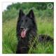 Wup, de Groenendaler, gefotografeerd door Mogi Hondenfotografie